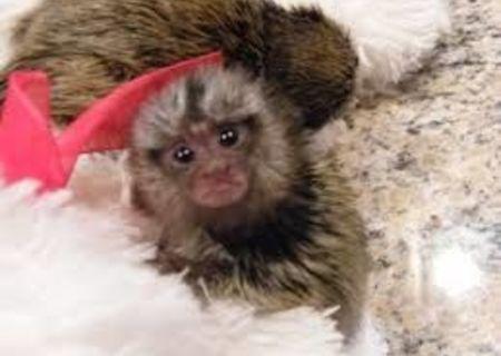 copii sănătoși de marmoset maimuță pentru adopția gratuită (christinalamas8@gmail.com)