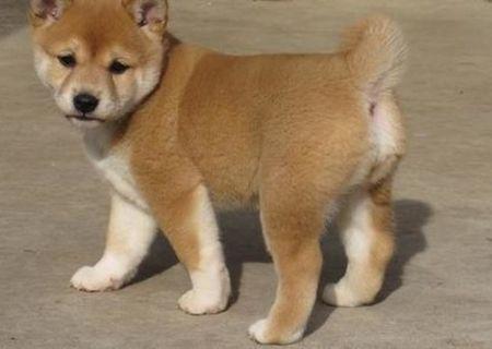 Fantani C.K.C Shiba Inu Pui disponibile pentru adoptare