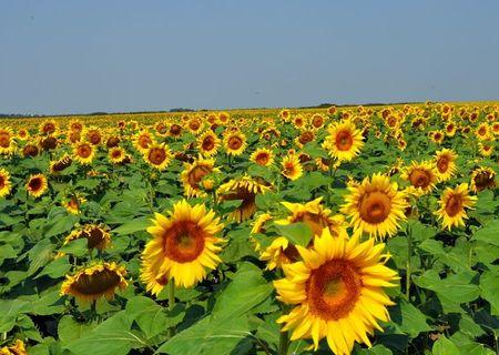 Floarea soarelui aprox. 140 TO