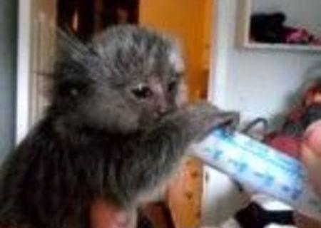Maimuță de marmoset pigmeu Disponibil pentru adoptare