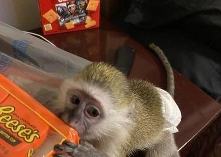 maimuțe capucine bine pregătite pentru adoptare