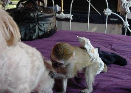 Maimuțe inteligente capucin pentru adoptarea X-mas   provvidenzaanello949@gmail.com