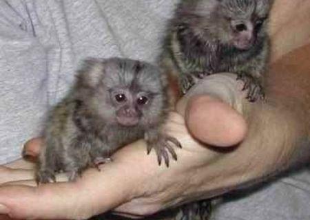 Pui de maimuță pentru adopție