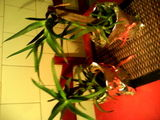 Aloe vera- planta miracol