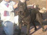 catel cane corso negru frumoss