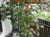 Ficus Japonez
