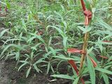 Goji -plante de goji