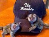 Maimuță de marmot pigmeu disponibilă