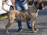 Monta Mascul Presa/Dogo Canario Giurgiu