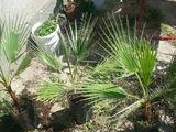 Palmieri cu crestere rapida