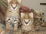 Pisici fantastice F1 Savannah.