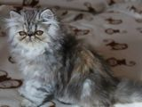 Pisici persane cu pedigree tip A, (4 generatii ale parintilor )