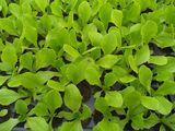 Rasad salata shangore