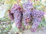 struguri Rosioara de Dabuleni si Negru Ananas