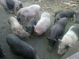 vand 70 de porci vietnamezi la pachet sau schimb