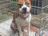 vand caine Amstaff 1 an