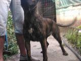femela Presa/Dogo Canario cu Pedigree