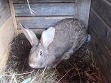 Vand iepuri rasa mixta mature 8 luni