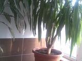 vand planta ornamentala yuca