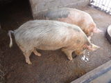 vand porc vier