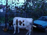 Vand Vaca Baltata Romaneasca
