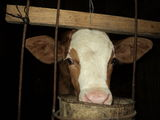 Vand vitel baltat romanesc
