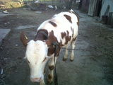 Vand vitel de carne de rasa baltata romaneasca