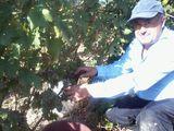 Vin de Pietroasele,Riesling